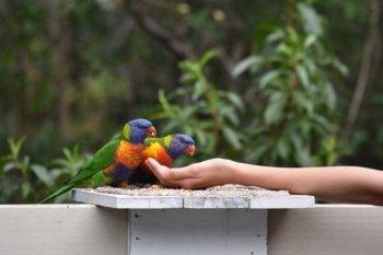 Hand feeding lorikeets